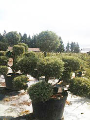 Juniperus x and  media 'Sulphur Spray' Pom pom